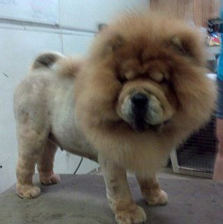 Typical Lion Cut, Chow Chow